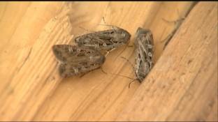 miller moths