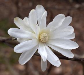 star-magnolia-2083798_640
